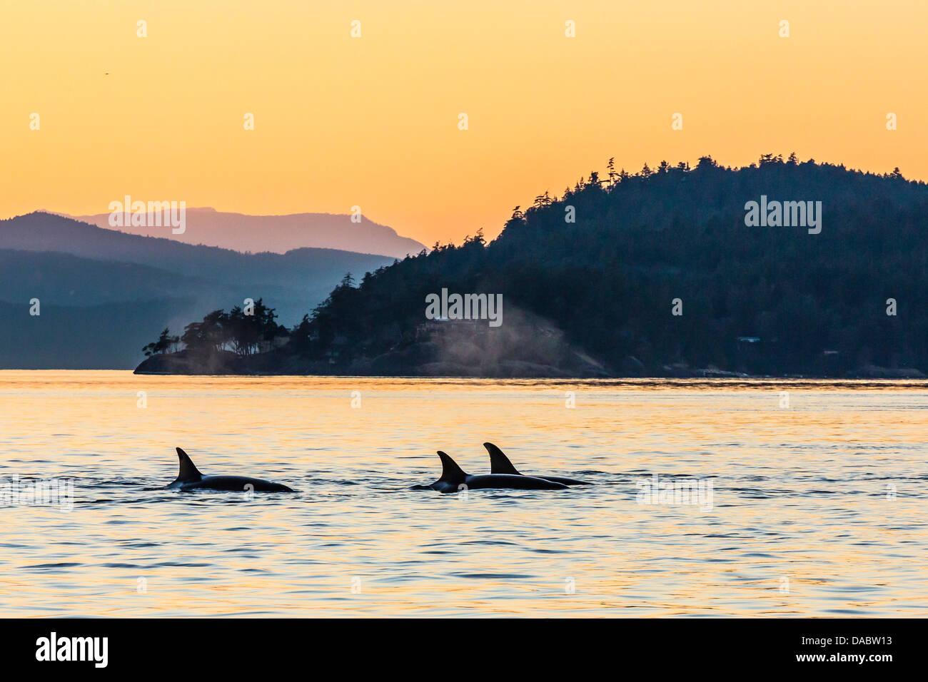 Transient killer whales (Orcinus orca) surfacing at sunset, Haro Strait, Saturna Island, British Columbia, Canada, - Stock Image