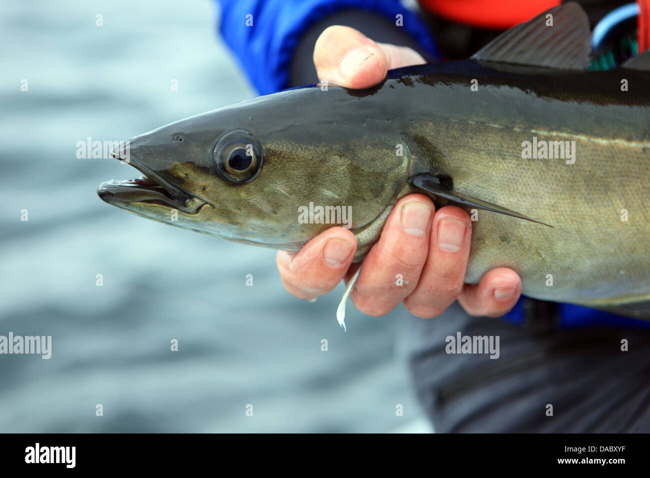 Angler holding a line caught Pollack - Stock Image