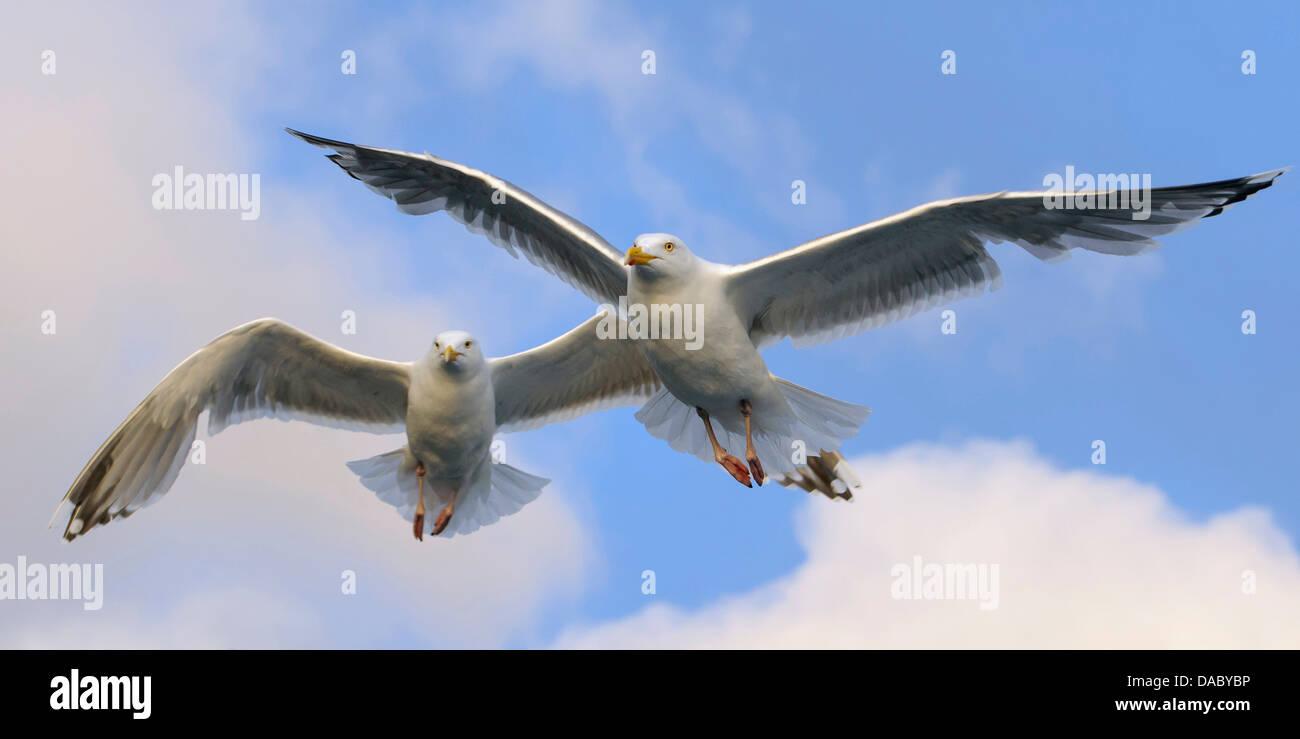 european herring gulls, larus argentatus, norway - Stock Image