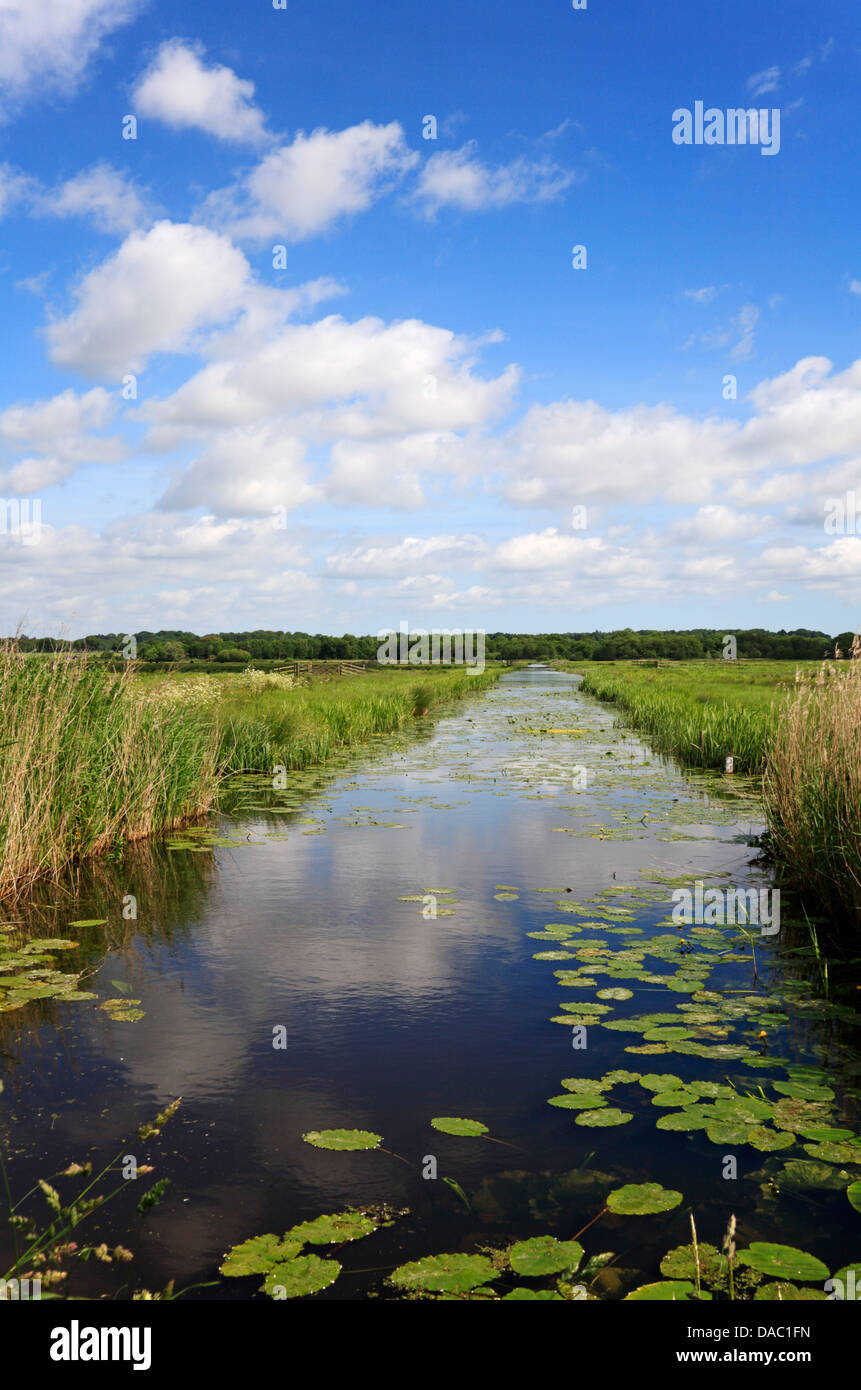 A dyke with Yellow Water-lilies bisecting grazing marshes at Buckenham, Norfolk, England, United Kingdom. - Stock Image