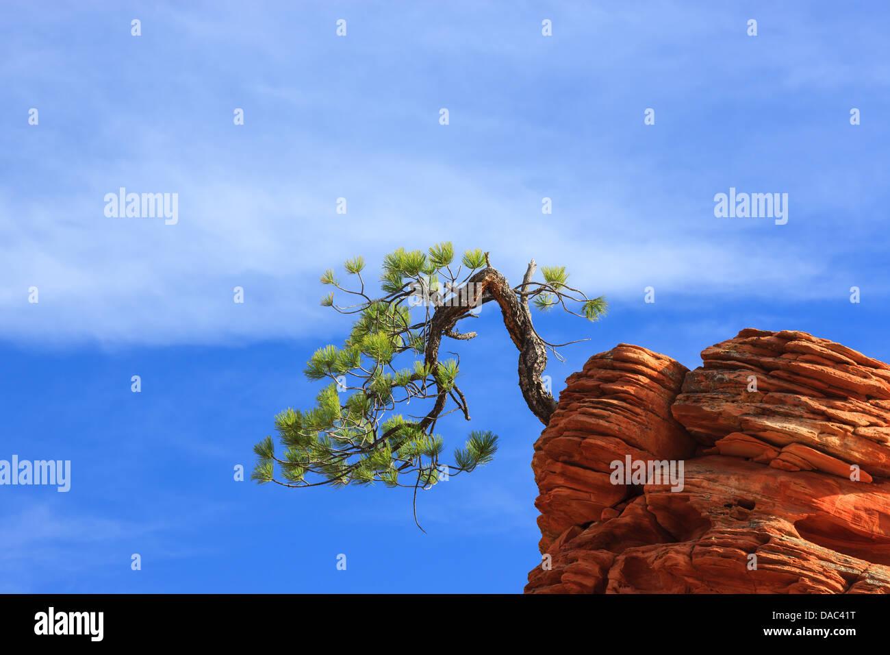 Pinyon pine (Pinus edulis) on sandstone at Zion National Park - Stock Image