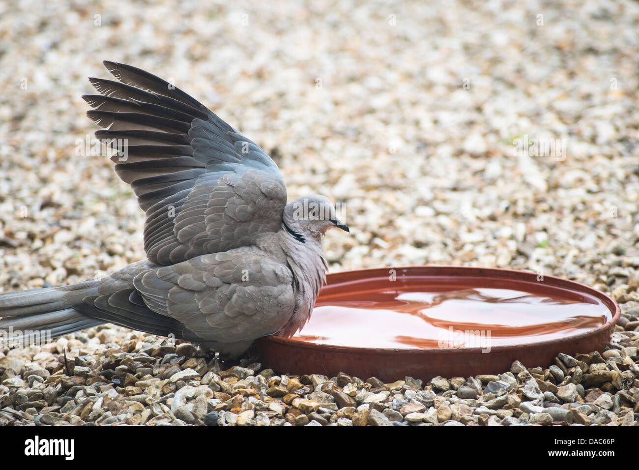 A collared dove tentatively preparing for a bath - Stock Image