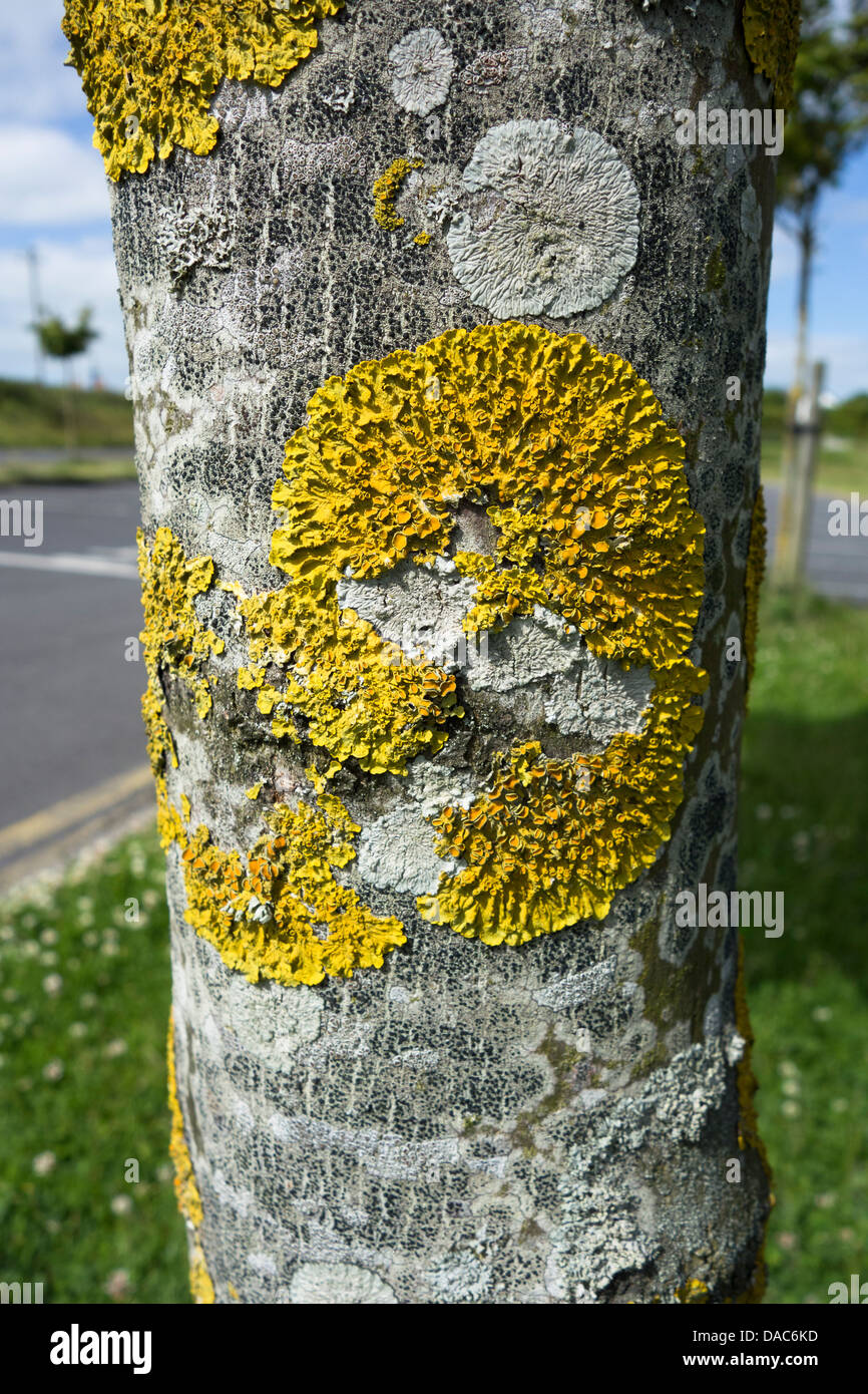 Yellow lichen growing on a tree trunk, Ireland - Stock Image