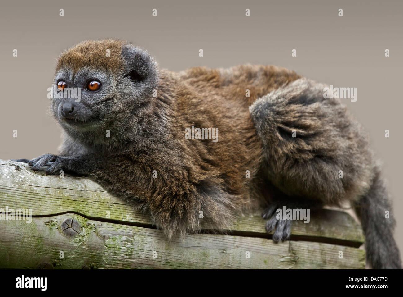 Alaotran Gentle Lemur (hapalemur griseus alaotrensis) - Stock Image