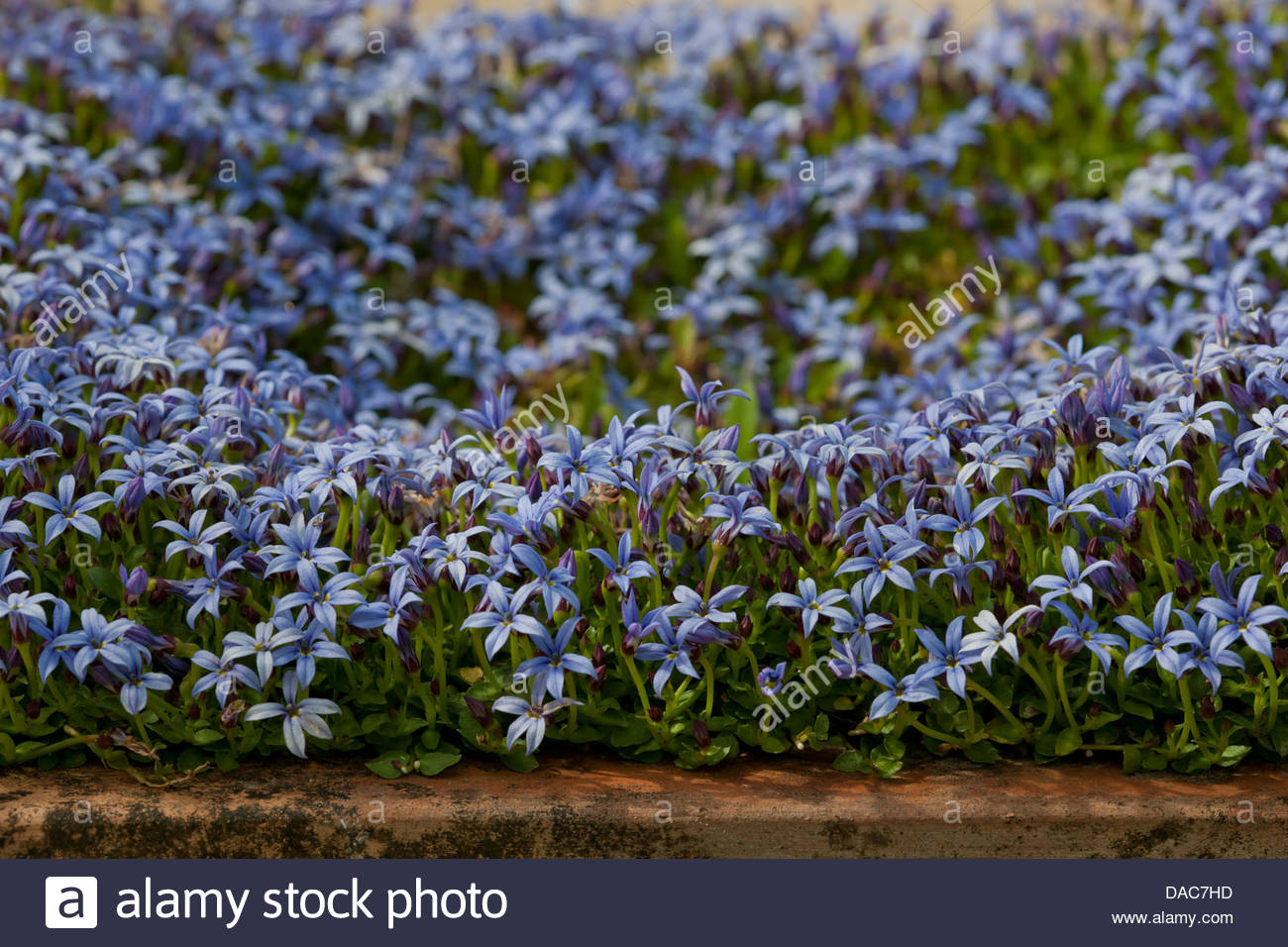 Blue flower ground cover perennial gallery flower decoration ideas blue star creeper isotoma fluviatilis flower summer mat forming blue star creeper isotoma fluviatilis flower summer izmirmasajfo