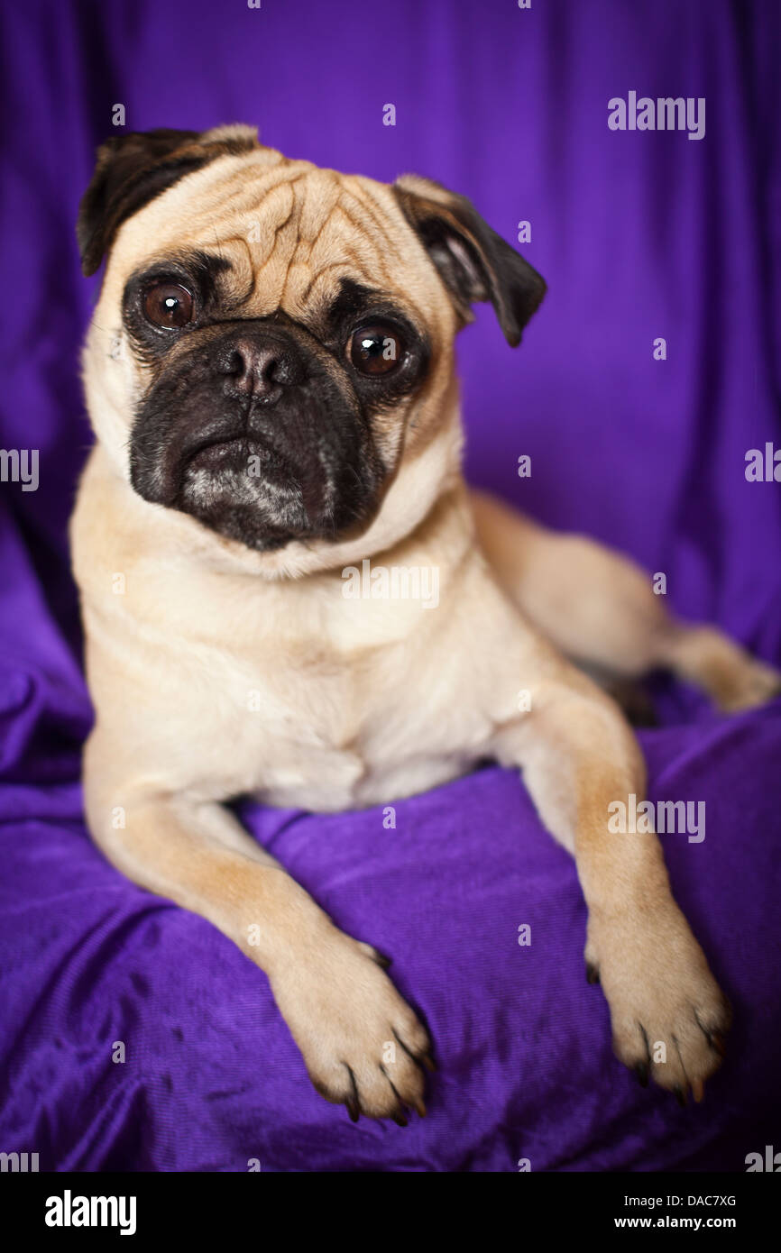 tawny pug breed dog laying on  purple couch - Stock Image