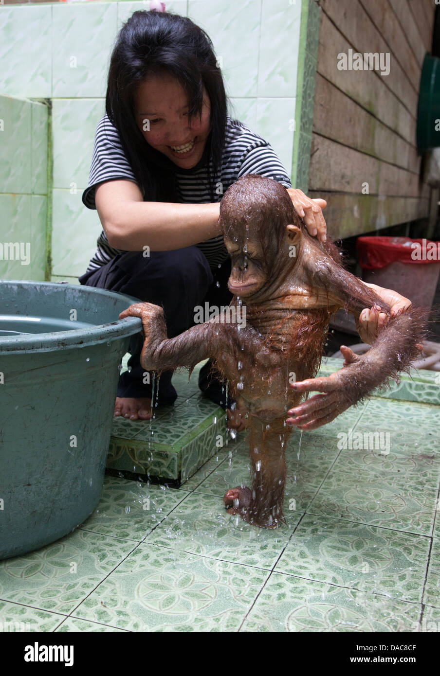 Baby orphan orangutan (Pongo pygmaeus) being bathed by caretaker at the Orangutan Care Center and Quarantine run - Stock Image