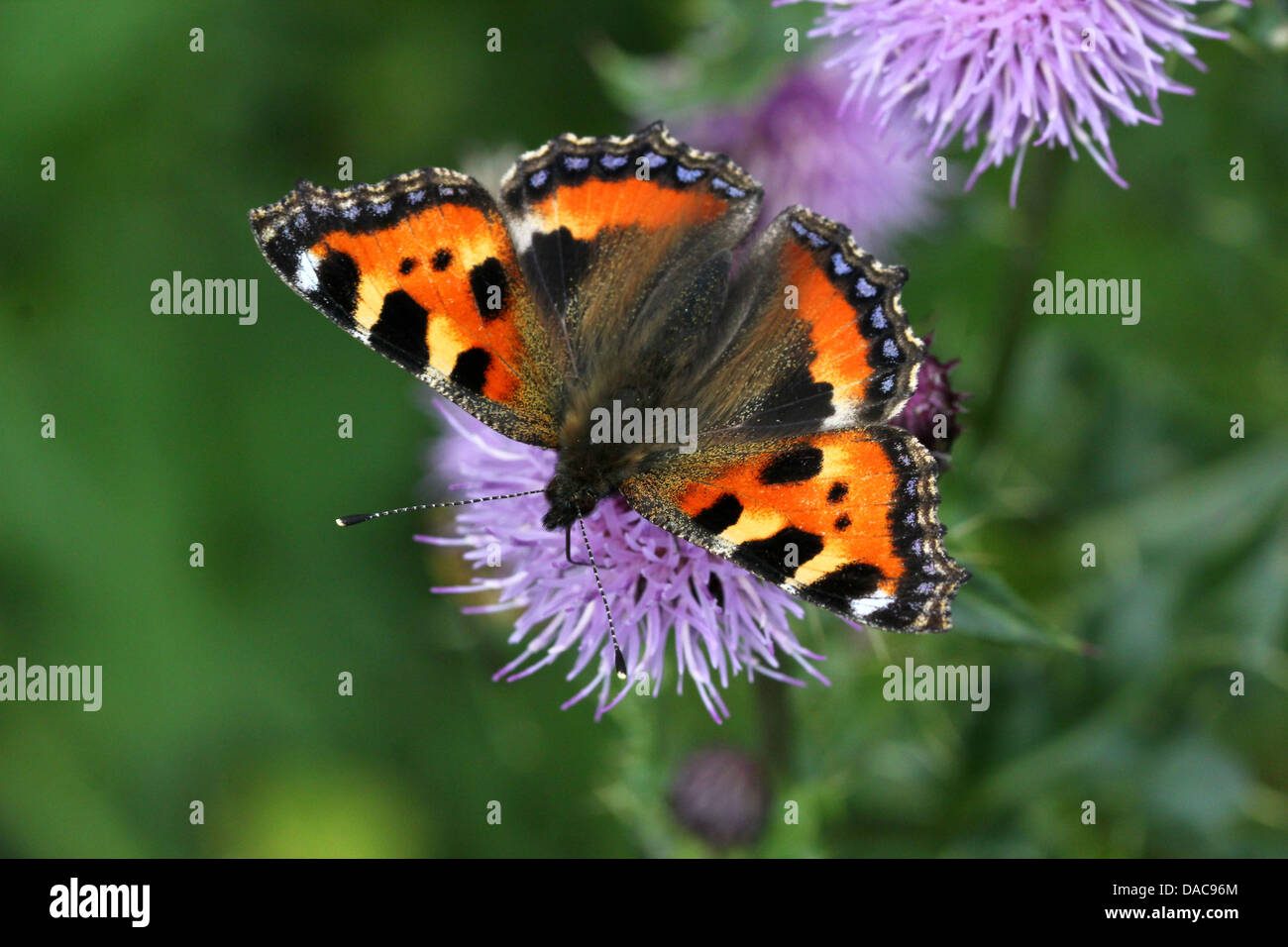 Very detailed macro close-up of a Small Tortoiseshell (Aglais urticae) butterfly posing on a flower - Stock Image