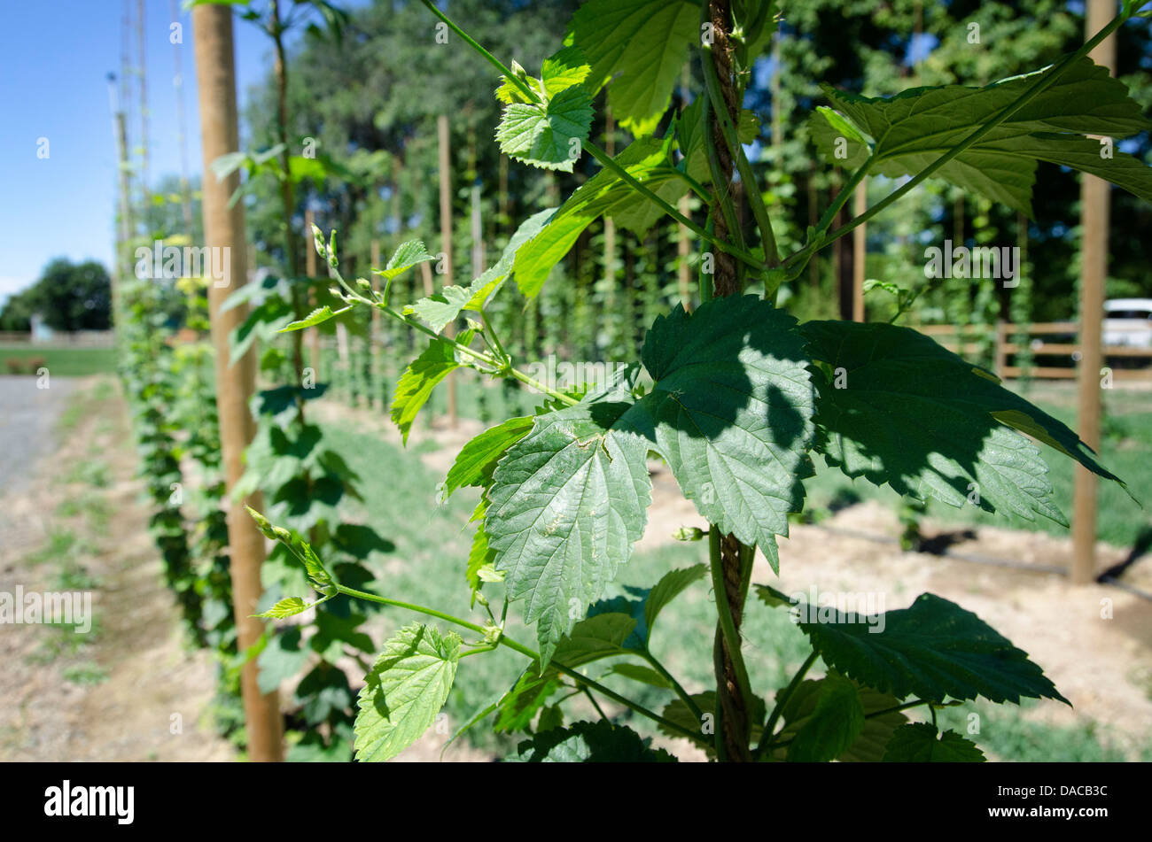 Cascade hop vines on a farm in the Yakima Valley WA, USA - Stock Image