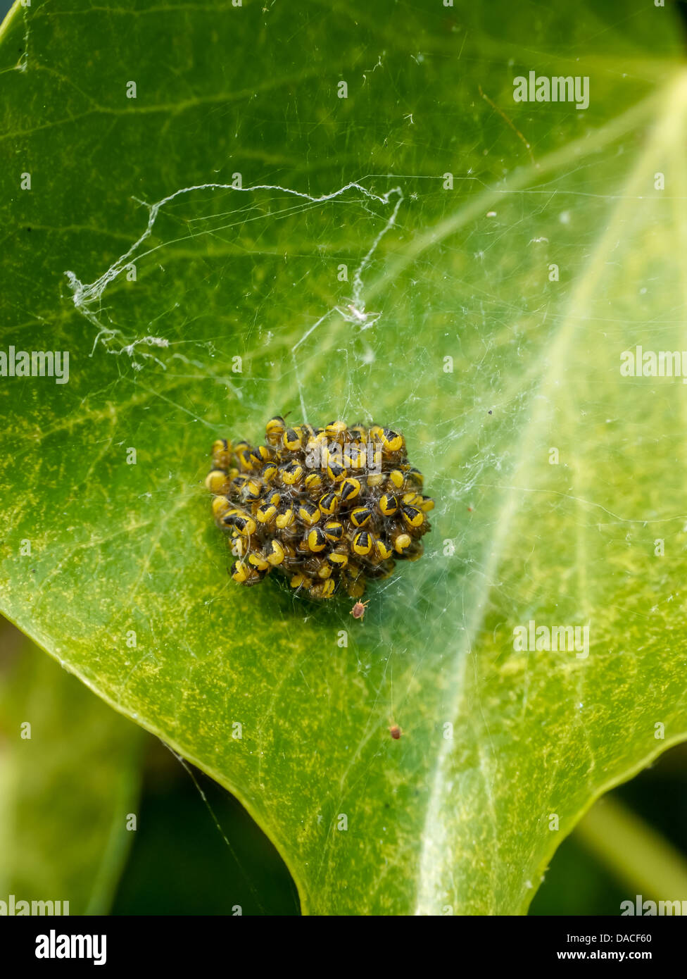 A Nest of Garden Spider spiderlings on a leaf - Stock Image
