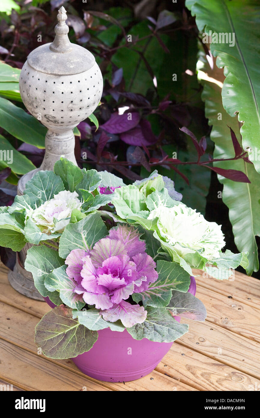 Heads of purple and white ornamental kale in a purple pot. - Stock Image