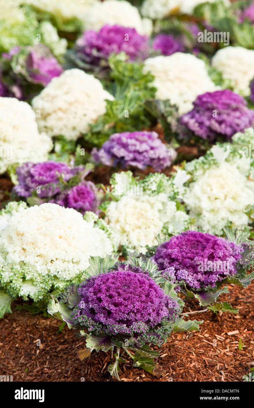 A bed of white an purple ornamental kale, with bark mulch. - Stock Image
