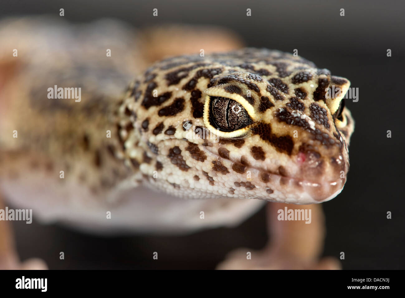 Close Up Macro Portrait Of A Leopard Gecko Eublepharis Macularius Showing Detail In Its Eyes And Nose