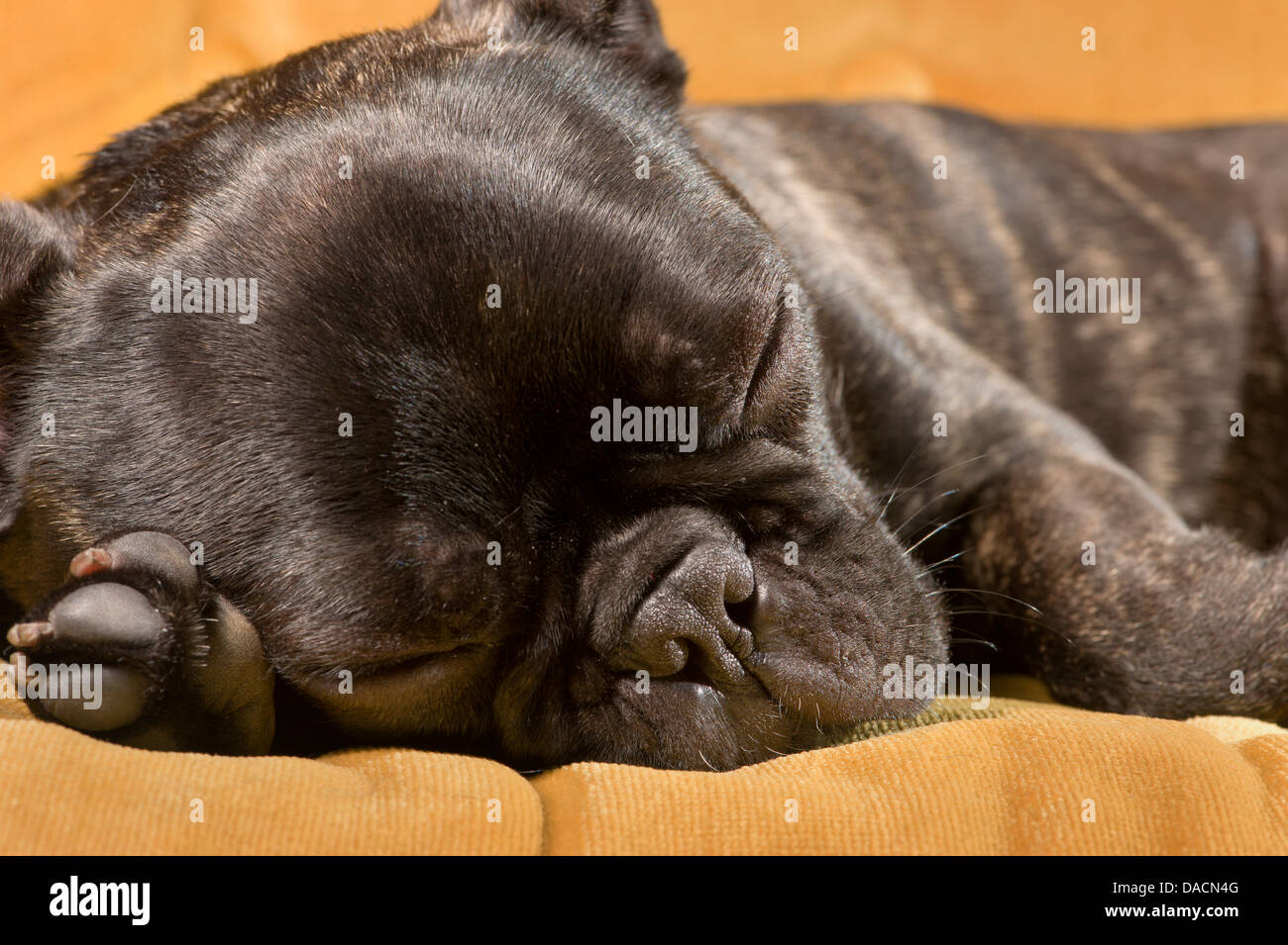 Sleeping French Bulldog puppy Stock Photo