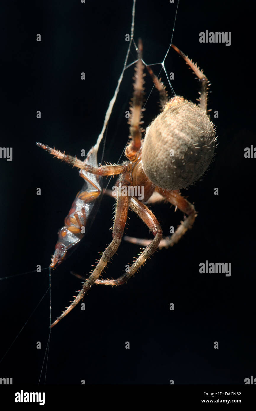 orb weaving spider (Neoscona crucifera ) wrapping an insect in its web. - Stock Image
