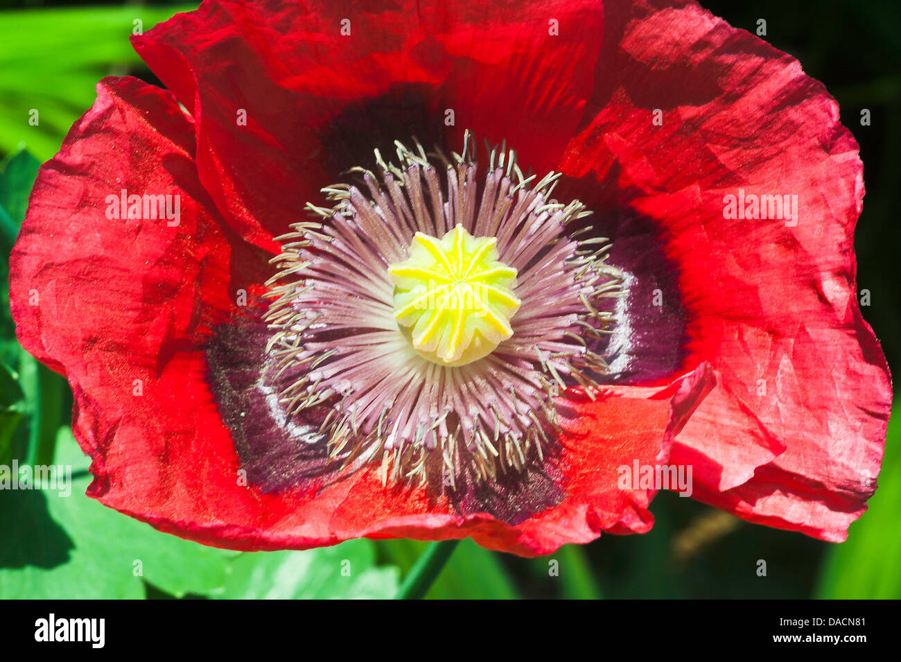 Bright red opium poppy flower in bloom in an alsager cheshire garden bright red opium poppy flower in bloom in an alsager cheshire garden england united kingdom uk mightylinksfo