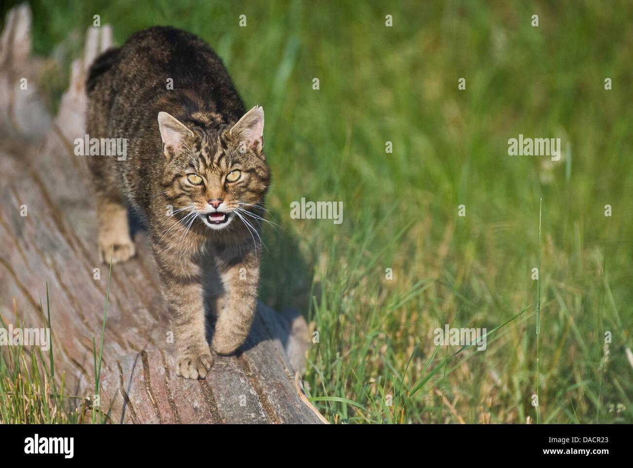 Scottish wildcat (Felis silvestris grampia) - Stock Image