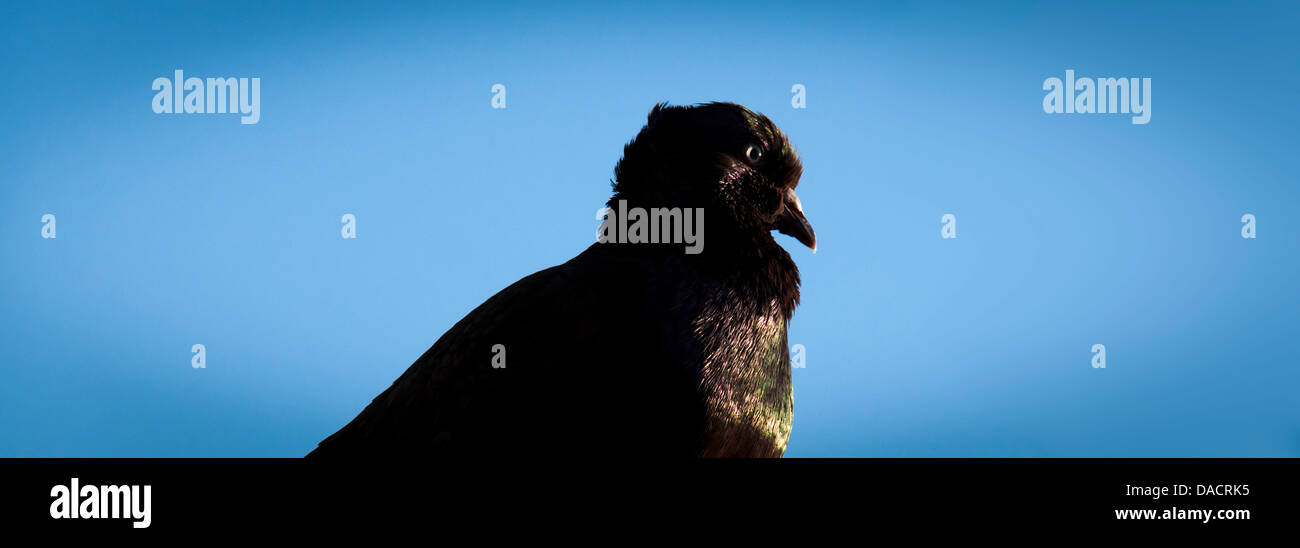 The glare - rust-colored rock pigeon against a blue-sky background with iridescent feathers glowing in the late - Stock Image
