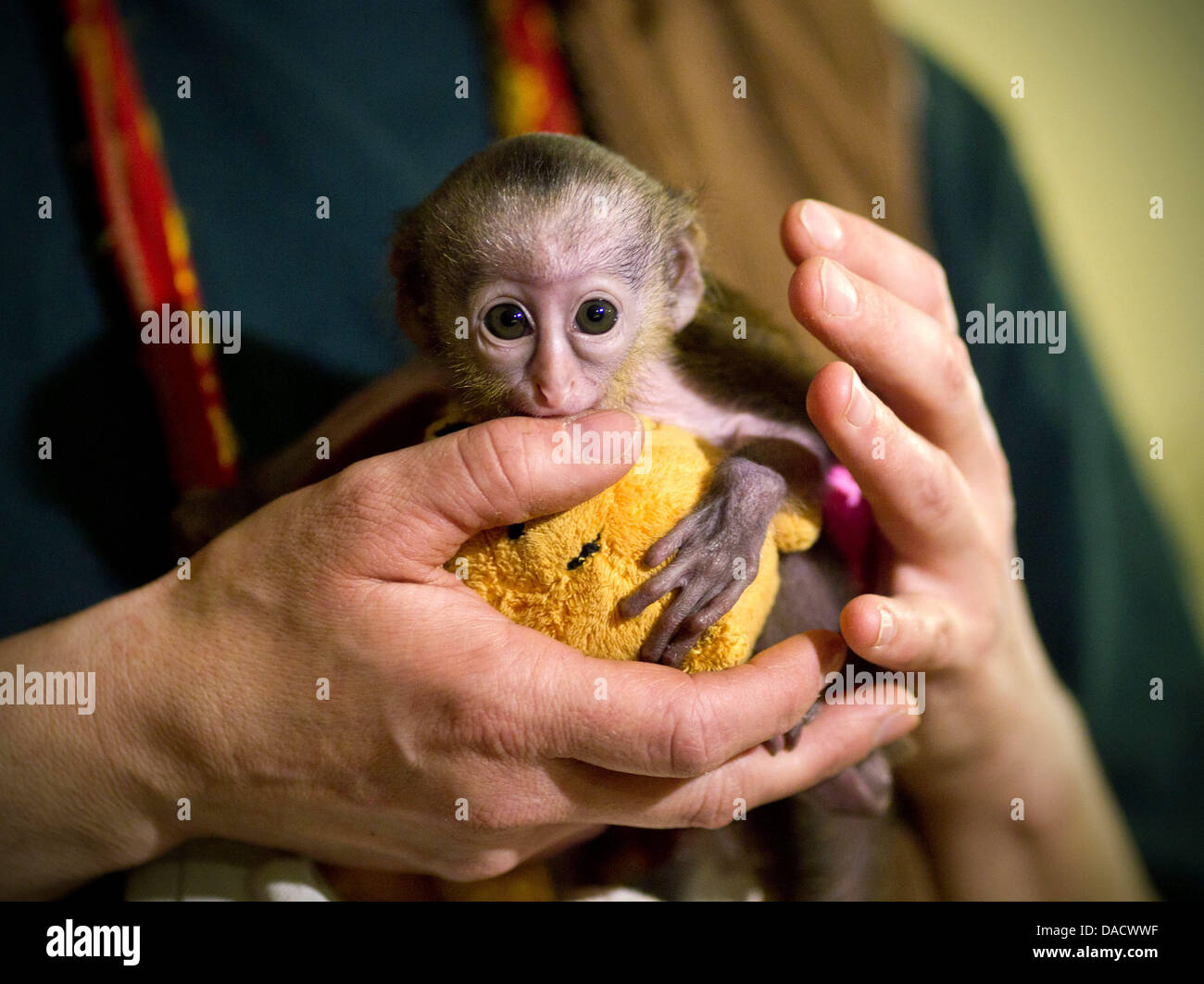 A nine-day old baby mona monkey, still wearing a diaper, sits in a zookeeper's hand at the Zoo inMagdeburg, Germany, Stock Photo