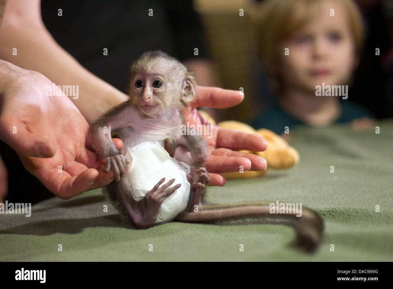 A nine-day old baby mona monkey, still wearing a diaper, sits in a zookeeper's hand at the Zoo inMagdeburg, - Stock Image