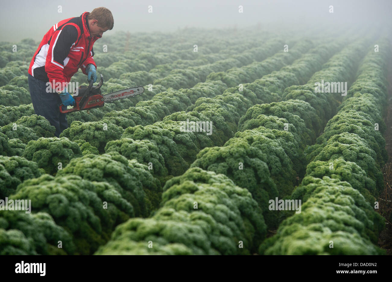 Gardener Michael Leschnik harvests green cabbage with a chainsaw on a field on the Leschnik market gardening farm - Stock Image