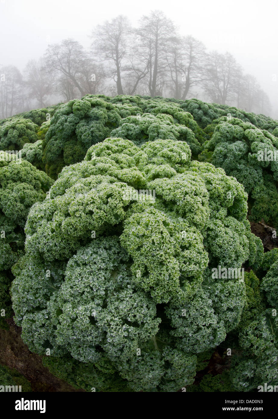 Green cabbage grows on a field on the Leschnik market gardening farm in Drahnsdorf, Germany, 23 November 2011. For - Stock Image