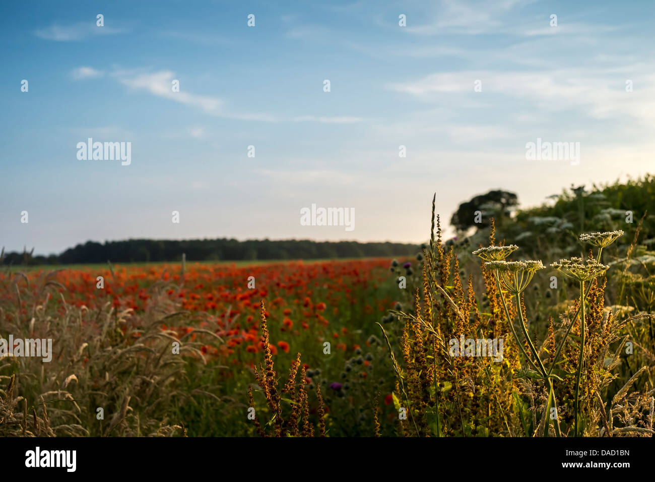 Hedgerow & poppy field on a summer evening, East Yorkshire - Stock Image