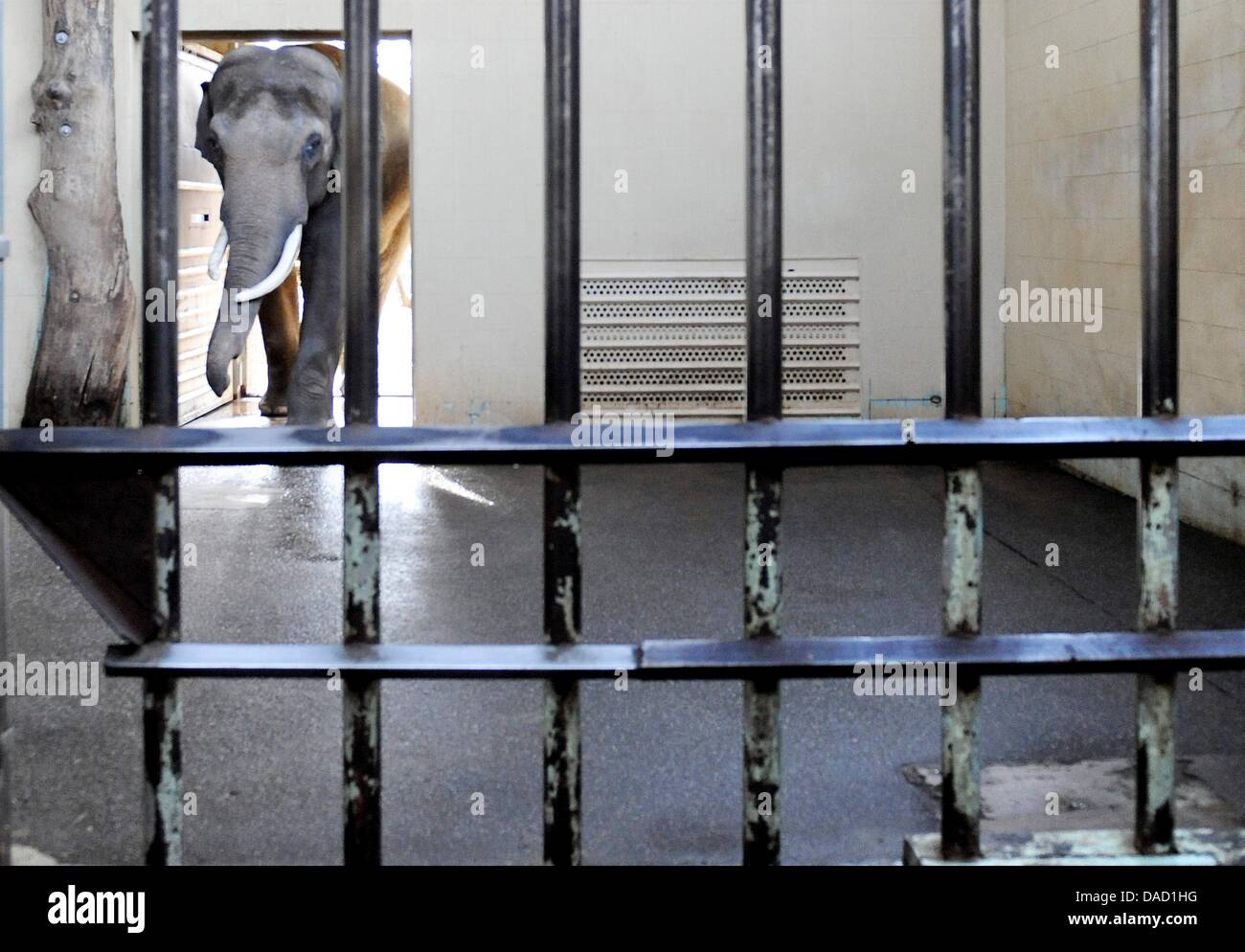 in stock latest details for Elephant bull Victor walks into his cage at the zoo in ...