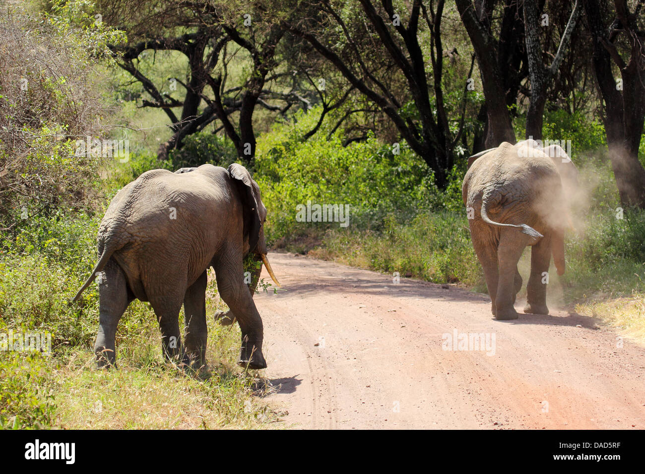 Two african elephants (Loxodonta Africana) crossing a road in Lake Manyara National Park, Tanzania Stock Photo