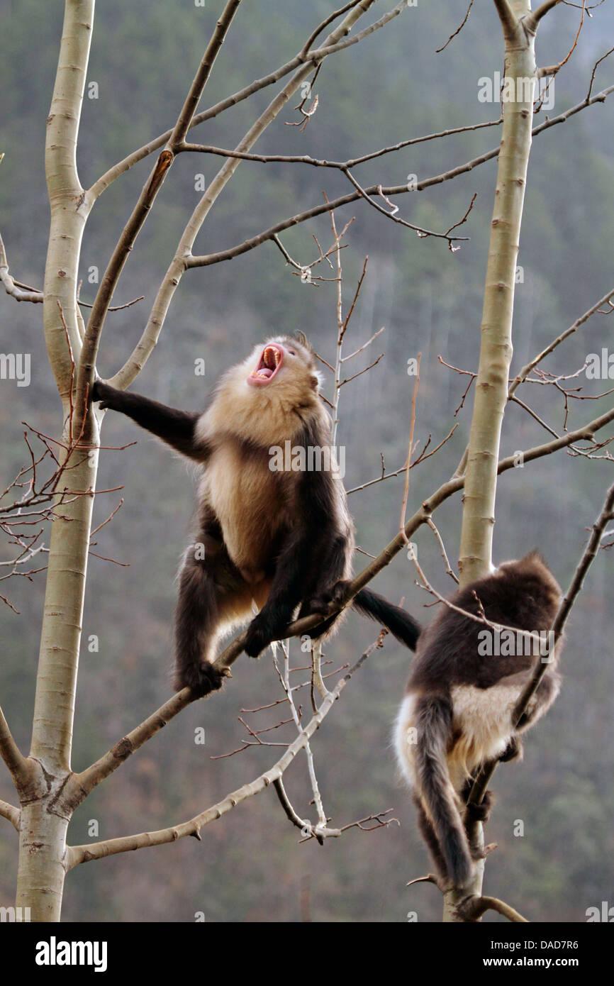 Black snub-nosed monkey, Yunnan snub-nosed monkey (Rhinopithecus bieti), Snub-nosed monkeys in tree , China, Yunnan, Stock Photo