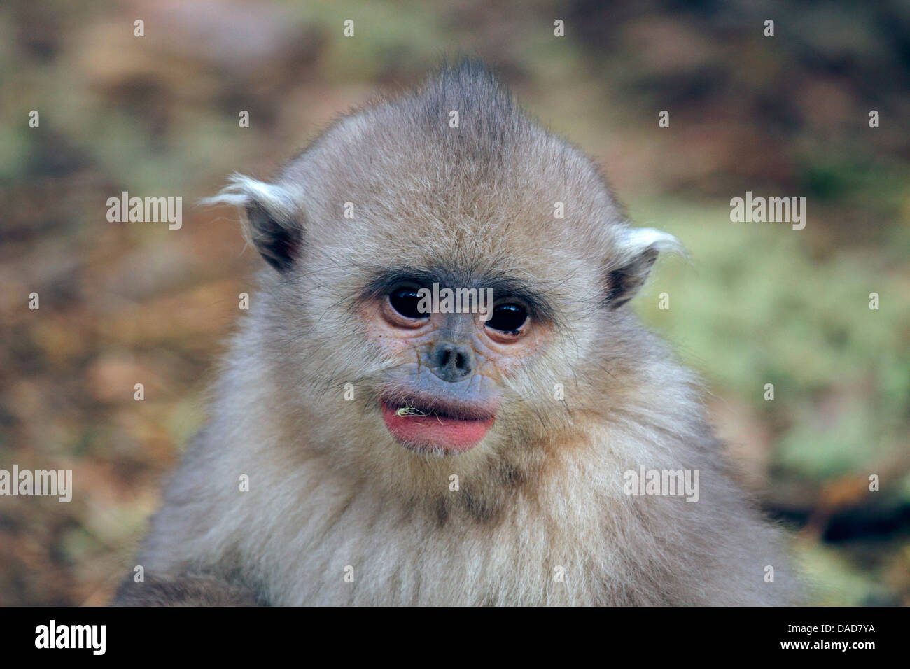 Black snub-nosed monkey, Yunnan snub-nosed monkey (Rhinopithecus bieti), Juvenile eating lichen, China, Yunnan, Stock Photo