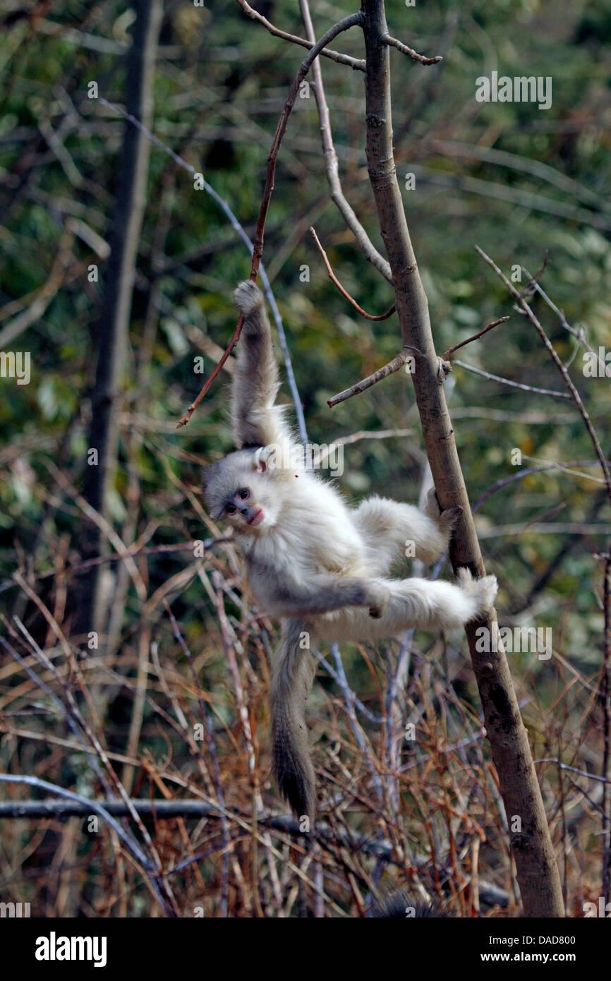 Black snub-nosed monkey, Yunnan snub-nosed monkey (Rhinopithecus bieti), juvenile in tree, China, Yunnan, Baima Stock Photo