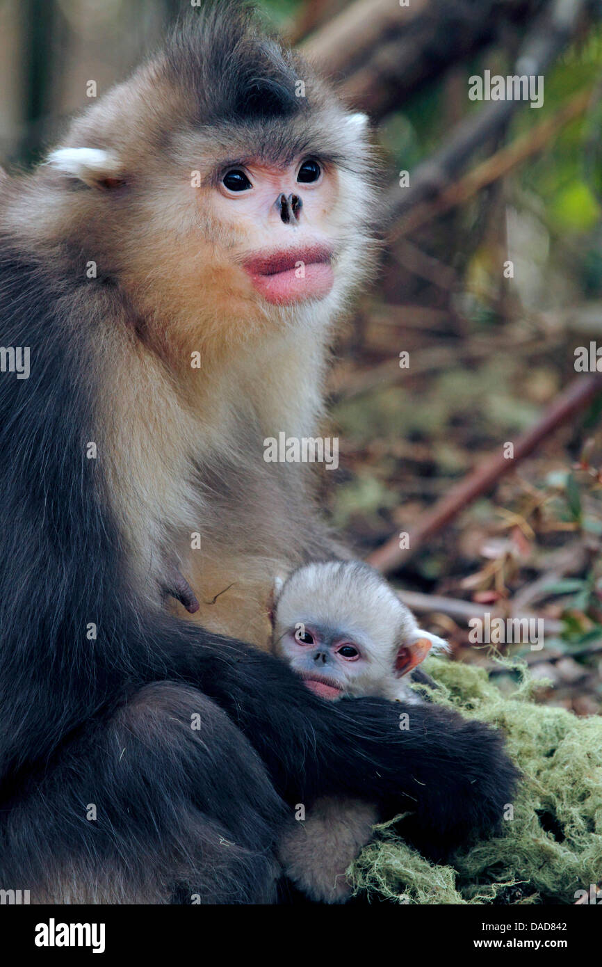 Black snub-nosed monkey, Yunnan snub-nosed monkey (Rhinopithecus bieti), mother with two days old baby, China, Yunnan, - Stock Image
