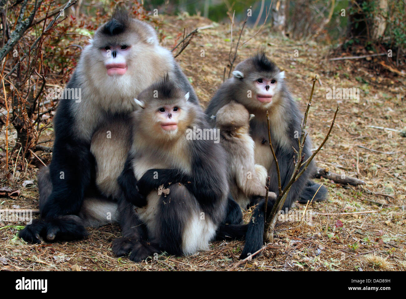 Black snub-nosed monkey, Yunnan snub-nosed monkey (Rhinopithecus bieti), family gathering, China, Yunnan, Baima Stock Photo