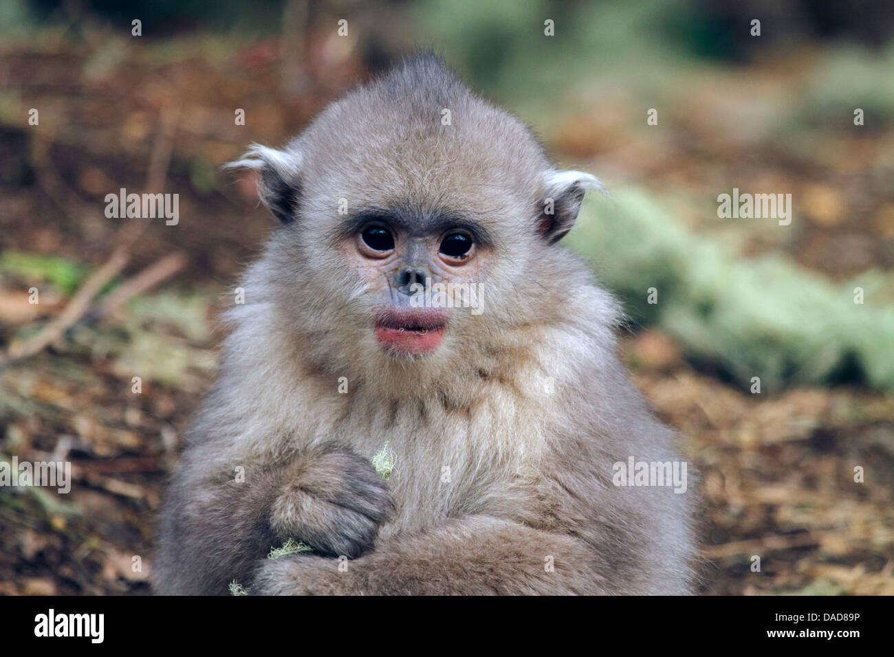 Black snub-nosed monkey, Yunnan snub-nosed monkey (Rhinopithecus bieti), juvenile eats lichen, China, Yunnan, Baima Stock Photo