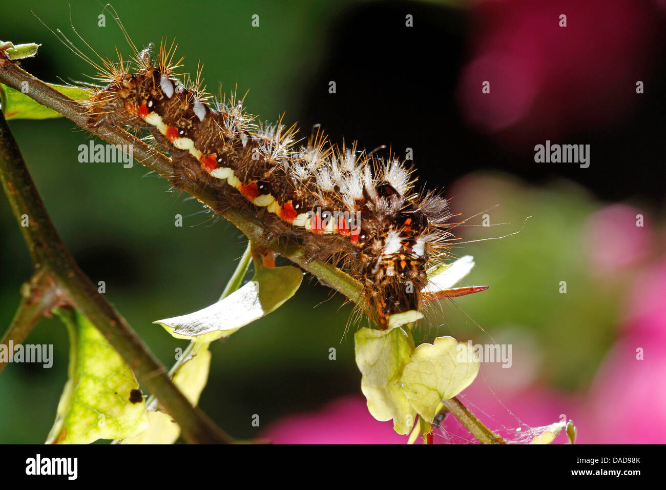 knot grass (Acronicta rumicis, Apatele rumicis), caterpillar on a twig, Germany - Stock Image