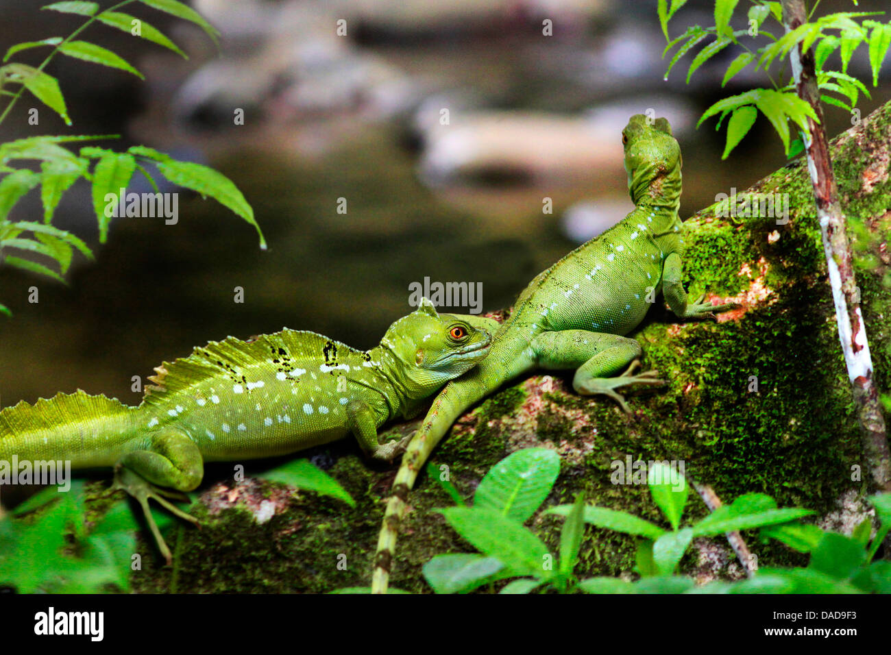 green basilisk, plumed basilisk, double-crested basilisk (Basiliscus plumifrons), two exemplars sitting on a mossy - Stock Image