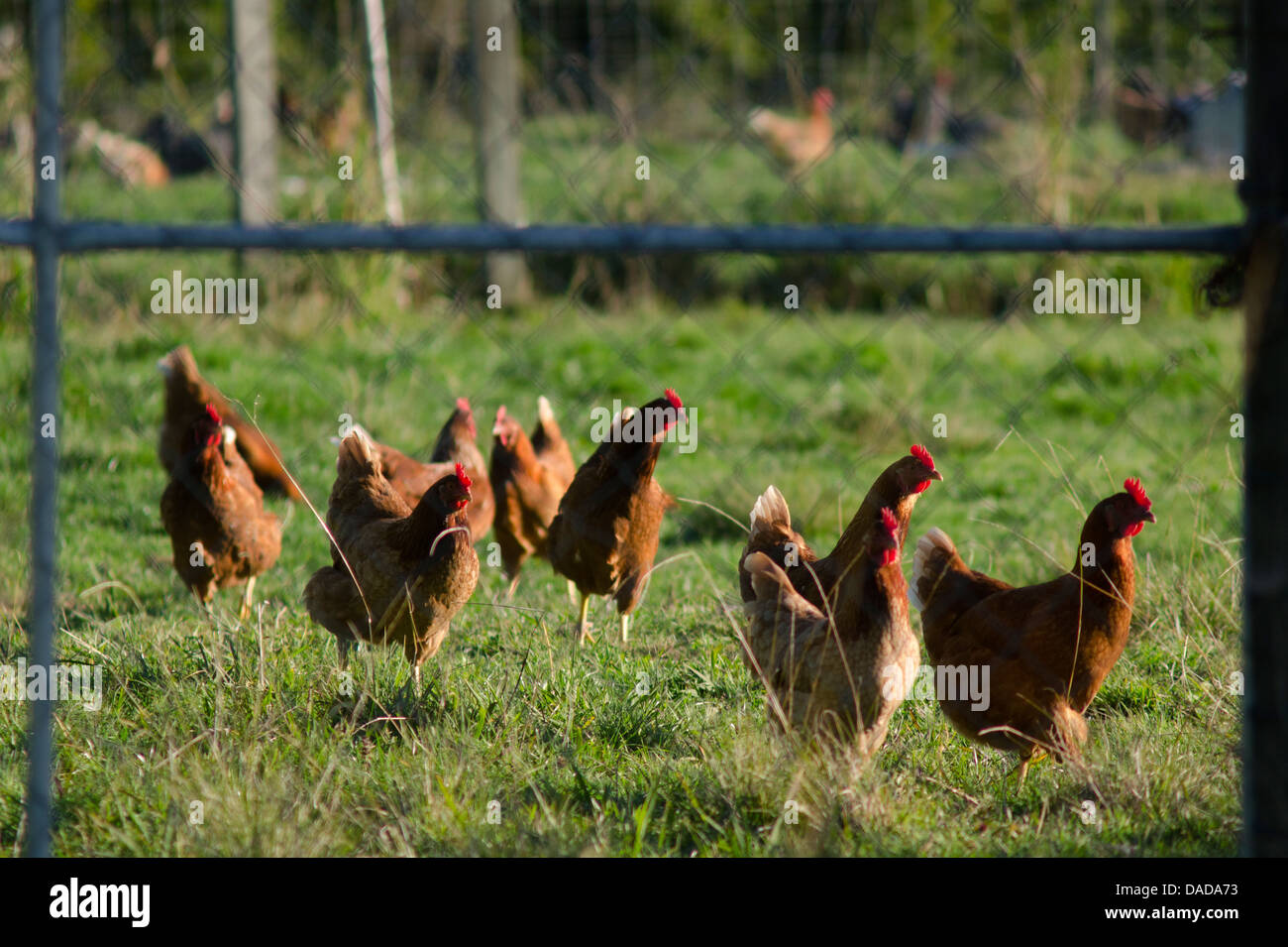 Free range egg-laying hens in a chicken farm. - Stock Image