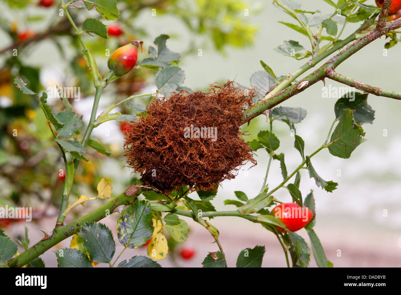 mossy rose gall wasp, bedeguar gall wasp (Diplolepis rosae), at a wild rose, Germany - Stock Image