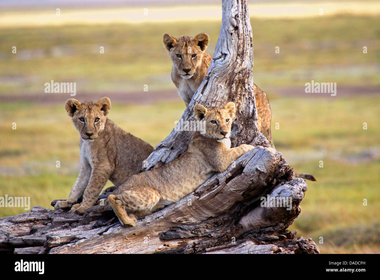 lion (Panthera leo), pubs resting on a dead tree, Kenya, Amboseli National Park - Stock Image