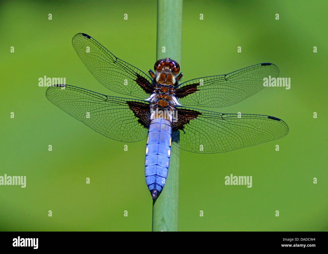 Broad-bodied libellula, Broad-bodied chaser (Libellula depressa), male sitting at a sprout, Germany - Stock Image