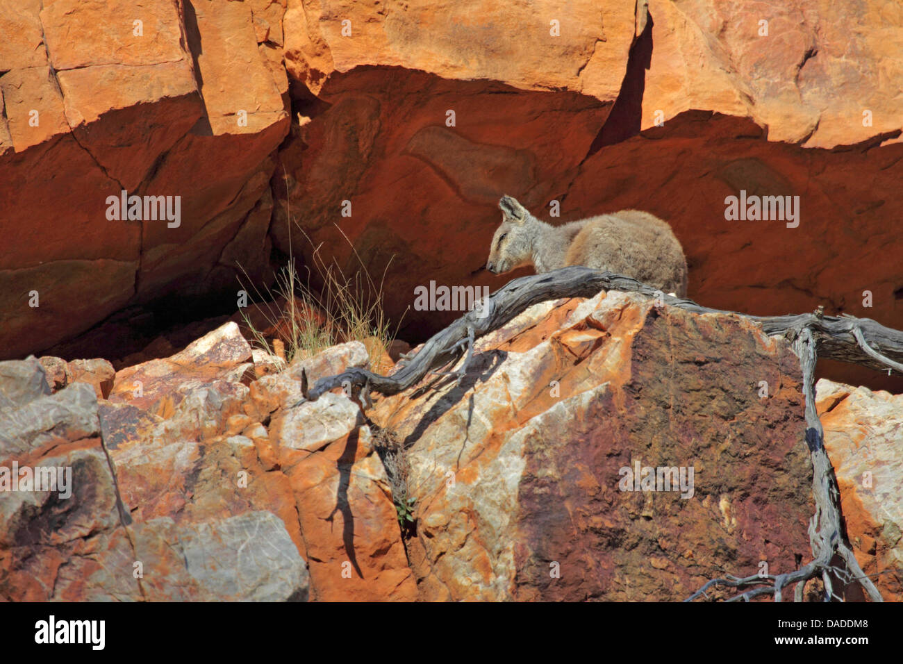 Black-footed rock wallaby (Petrogale lateralis), sitting in a rock crevice, Australia, Northern Territory, Western - Stock Image