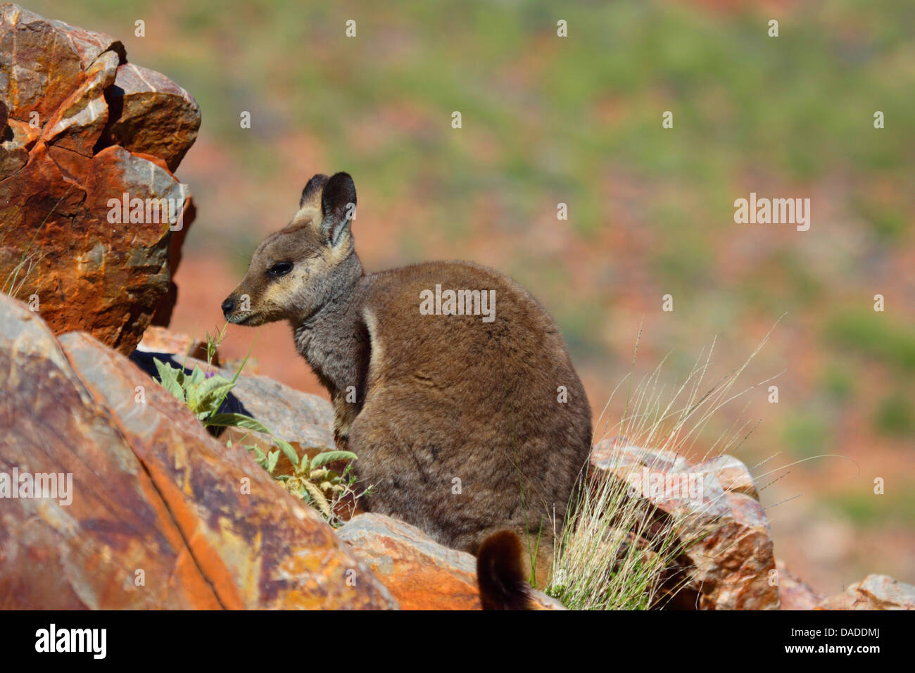 Black-footed rock wallaby (Petrogale lateralis), sitting on rocks, Australia, Northern Territory, Western MacDonnell - Stock Image
