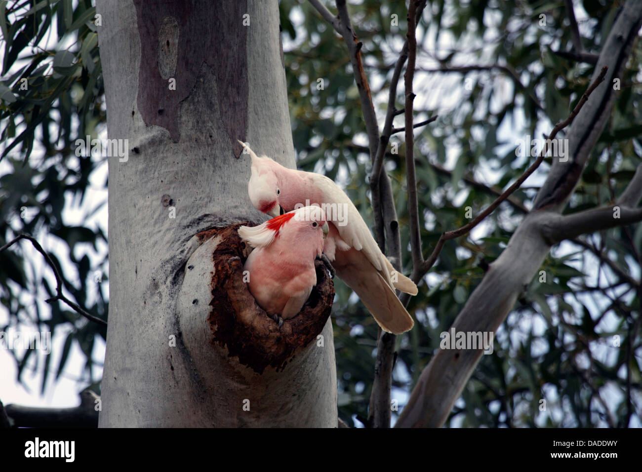 Major Mitchell's Cockatoo, Pink Cockatoo (Lophocroa leadbeateri), pair at their nesting hole, Australia, Northern - Stock Image