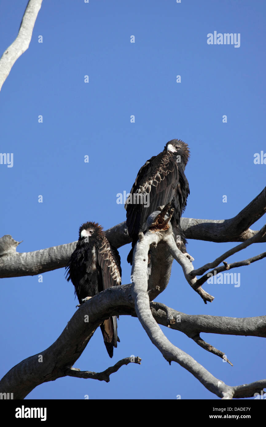wedge-tailed eagle (Aquila audax), pair sitting on a tree, Australia, Western Australia, Canning Stock Route - Stock Image