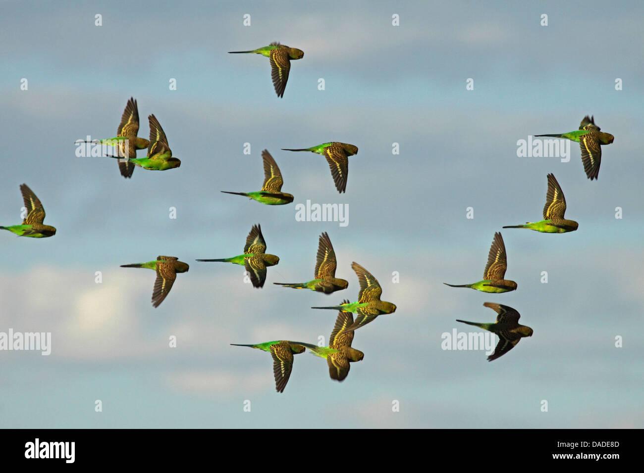 budgerigar, budgie, parakeet (Melopsittacus undulatus), flying flock, Australia, Northern Territory, Western MacDonnell - Stock Image