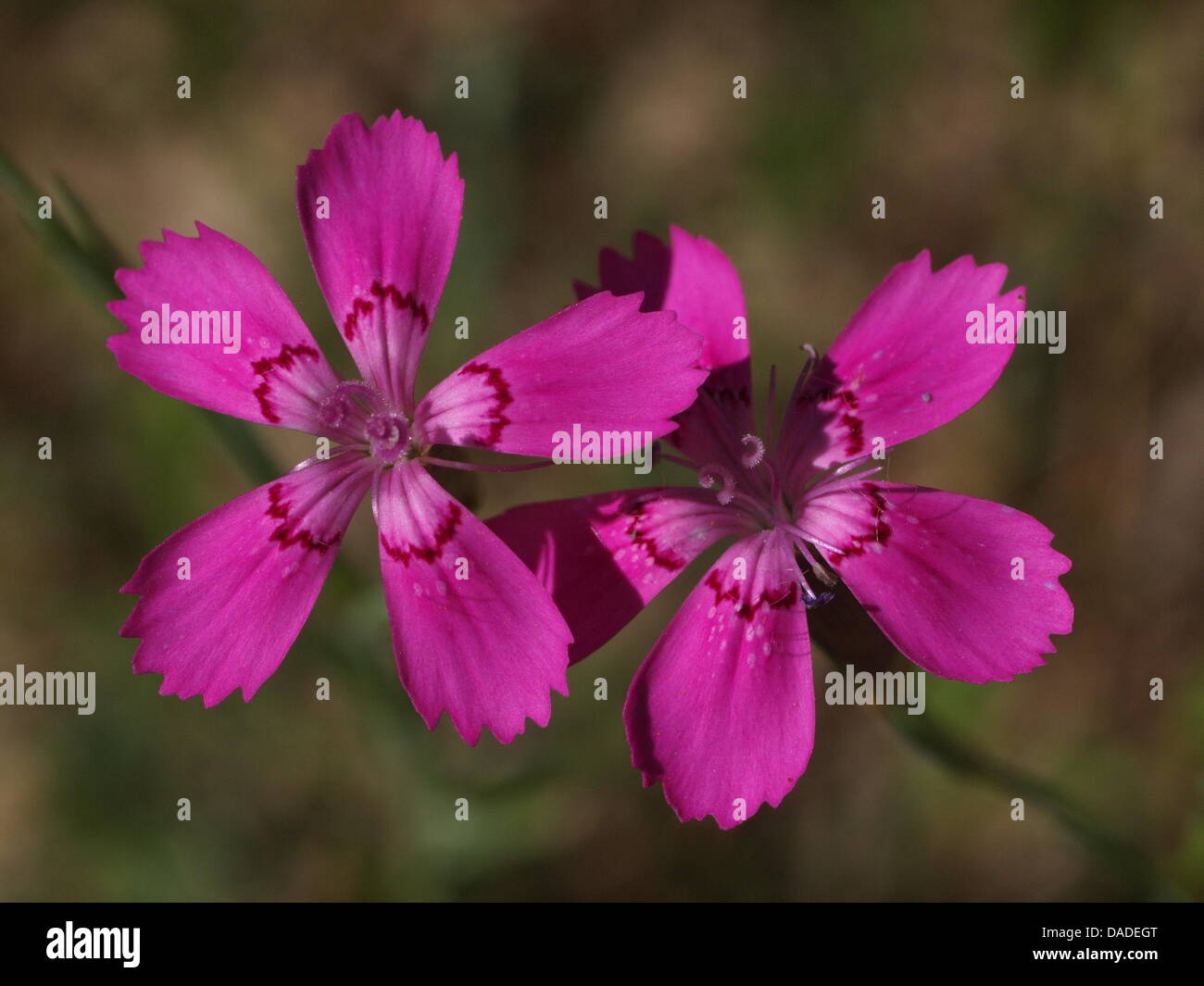 An undated photo shows the 'Flower of the Year 2012', the Maiden Pink. By selecting it as flower of the - Stock Image