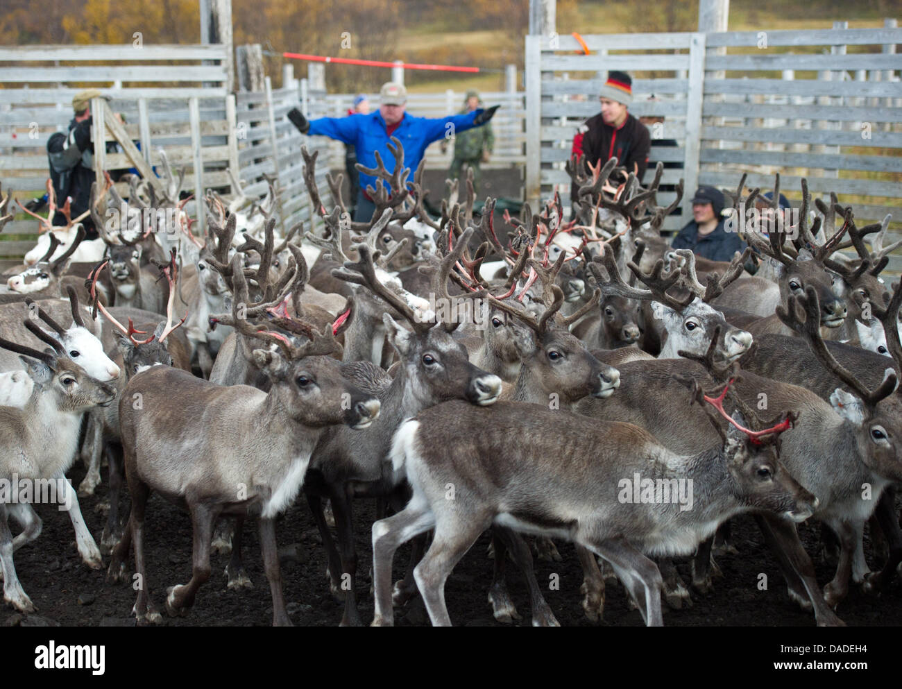 A group of Sami people leads a herd of reindeers through a gate in the Finnmark region, around 100 kilometres south Stock Photo