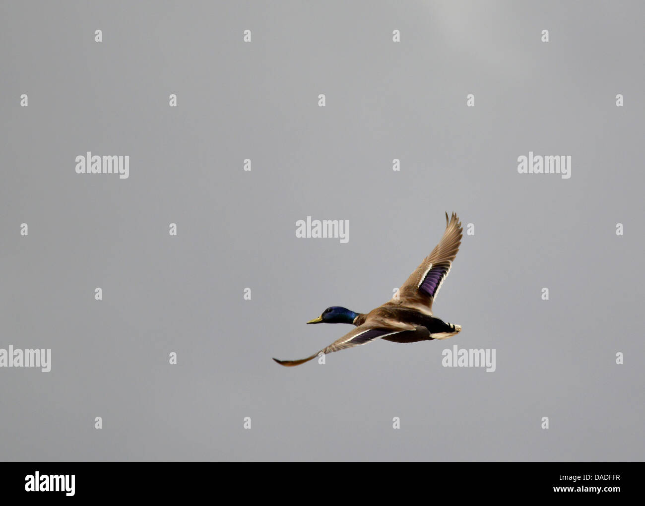 Flying duck - Stock Image