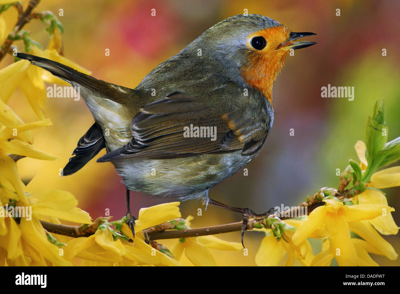 European robin (Erithacus rubecula), sitting on a branch of Forsythia, Germany, Bavaria - Stock Image